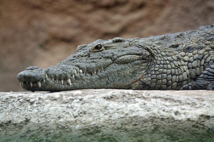 تمساح دریاچه چیتگر تهران پیدا شد + عکس